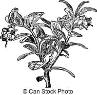 Vaccinium Clipart and Stock Illustrations. 35 Vaccinium vector EPS.