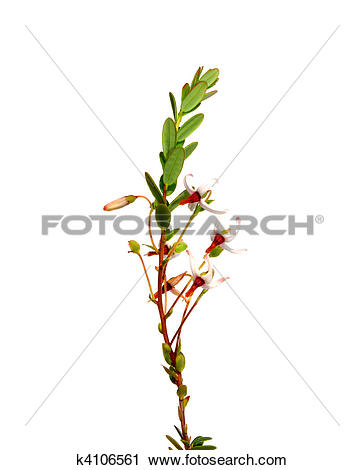 Clipart of Cranberry flowers (Vaccinium macrocarpon) k4106561.