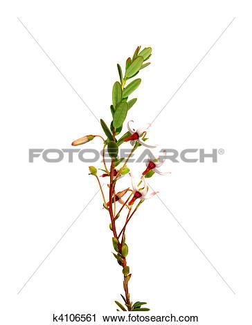 Clipart of Cranberry flowers (Vaccinium macrocarpon) k4106561.