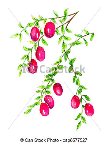 Stock Illustrations of Cranberry (Vaccinium macrocarpon.