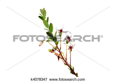 Picture of Cranberry flowers (Vaccinium macrocarpon) k4078347.