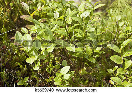 Stock Photography of Bilberry (Vaccinium myrtillus) k5539740.