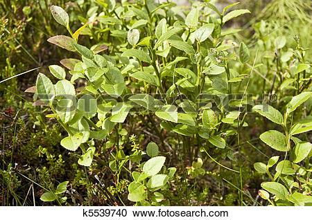 Stock Photography of Bilberry (Vaccinium myrtillus) k5539740.