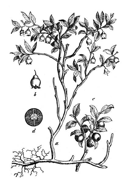 Vaccinium Myrtillus Clip Art, Vector Images & Illustrations.