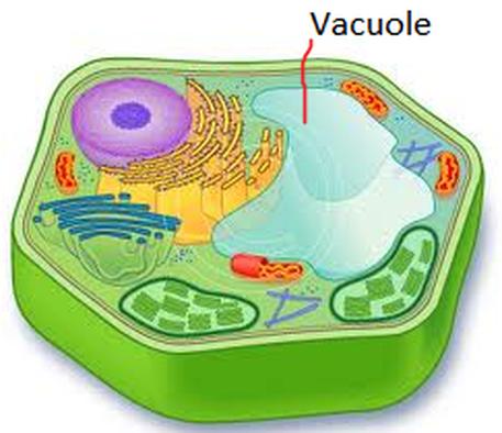 Vacuole.