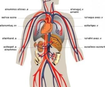 Vector Veins Medical Diagram Vector Clip Art.