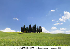 Cypress trees cupressus sp san quirico dorcia Stock Photo Images.