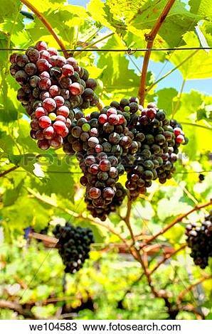 Stock Photo of Grapes on a grapevine Trentino Alto Adige South.