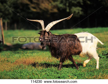 Stock Photography of Valais Blackneck.