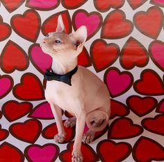 19 Best Sphynx cat images.
