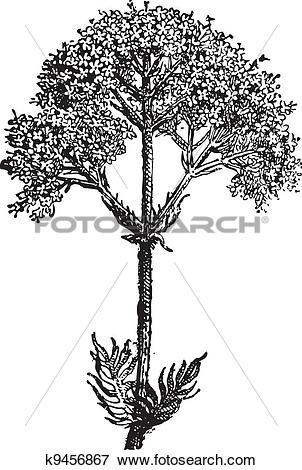 Clip Art of Valerian (Valeriana officinalis) or garden valerian.