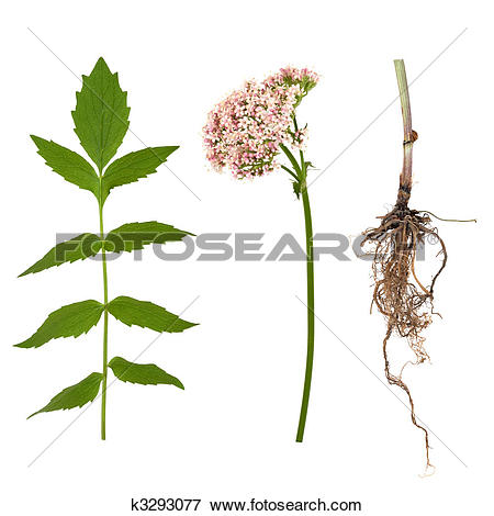 Picture of Valerian Leaf, Root and Flower k3293077.