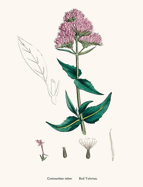 Garden Valerian Clip Art, Vector Images & Illustrations.