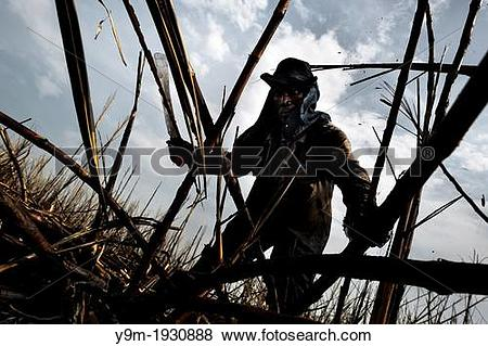 Pictures of A sugar cane cutter works with a machete in a field.