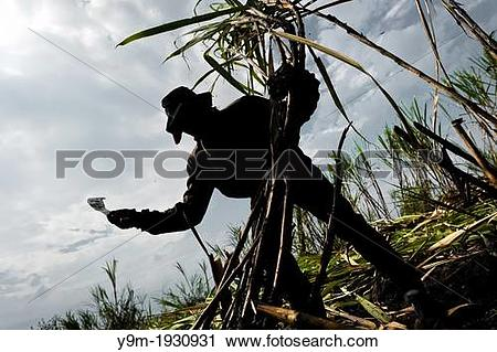 Stock Photography of A worker cuts sugar cane on a plantation near.