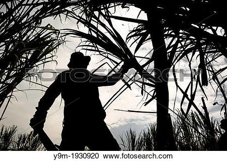 Stock Photography of A sugar cane cutter works on a plantation.