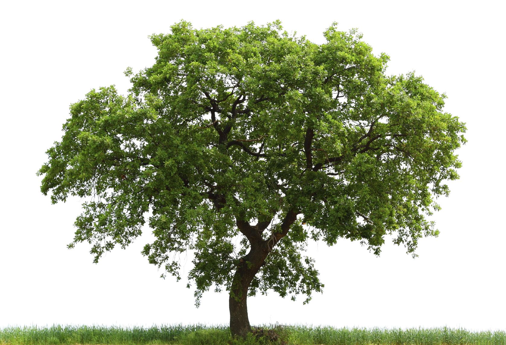 Loan Oak Tree.