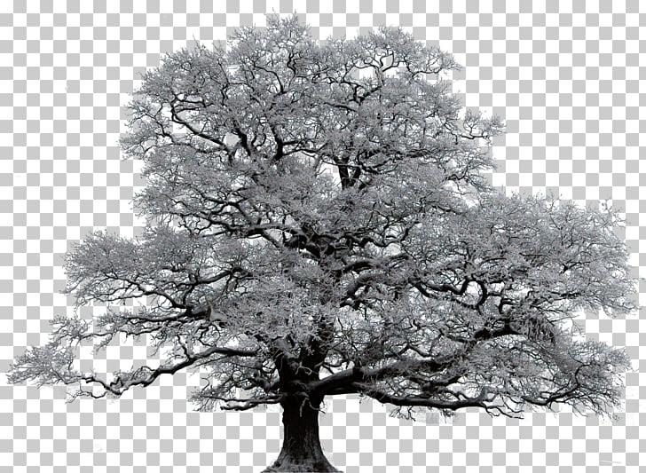 Tree Winter Oak Union Valley Royse City, snow tree PNG.