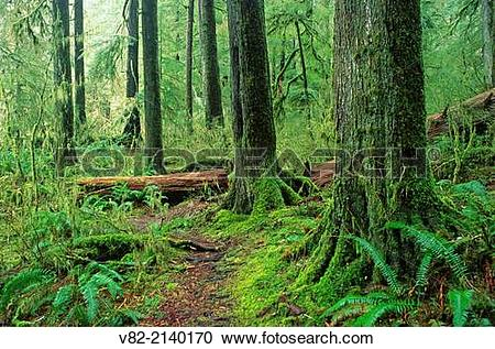 Stock Photography of Ancient forest, Valley of the Giants.