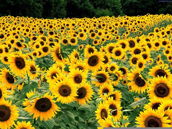 Van Gogh Sunflowers Clipart.