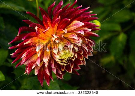 Spike Flower Red Spike Flower Garden Stock Photo 583301449.