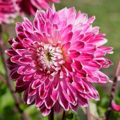 Dahlia Bulbs (Dinnerplate)