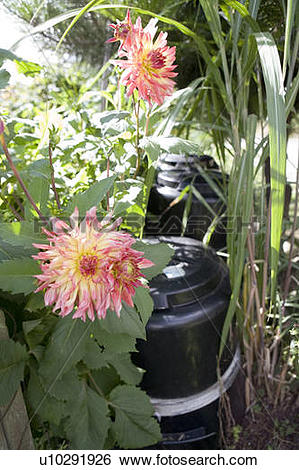 Stock Images of Flowers near compost bin, Cypress Street Community.