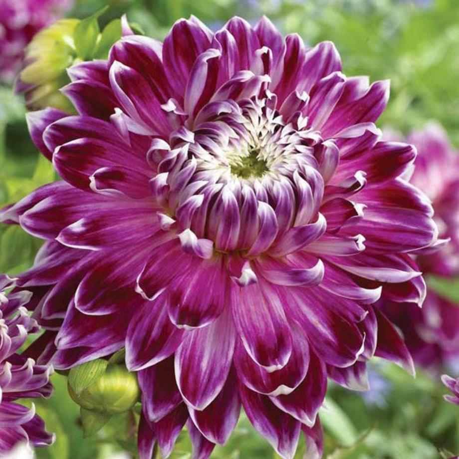 Flower Bulbs, Amaryllis Bulbs, Paperwhites & More.