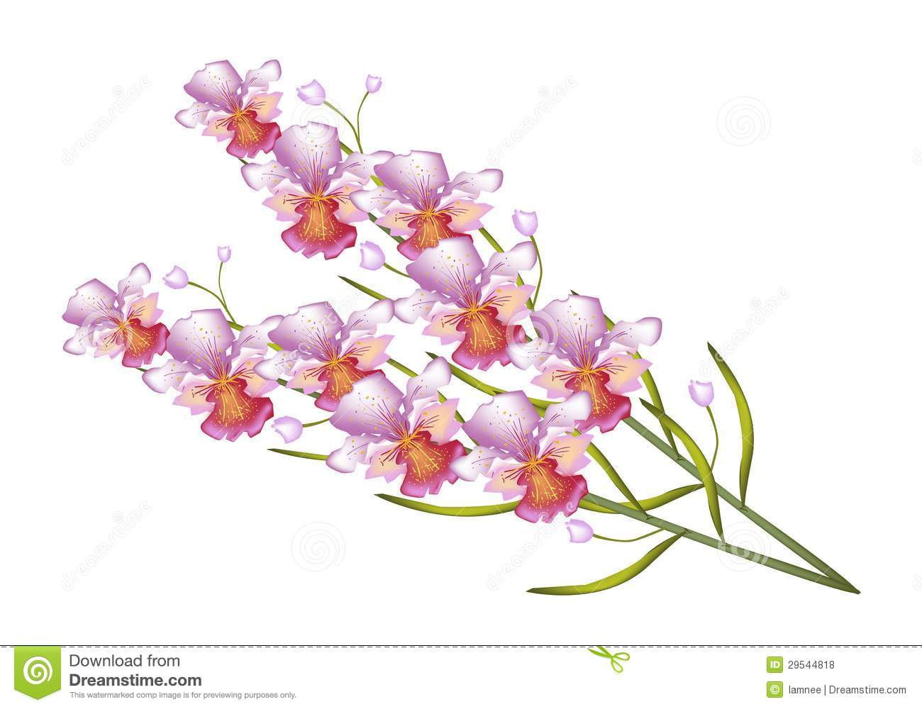 Vanda Stock Illustrations.