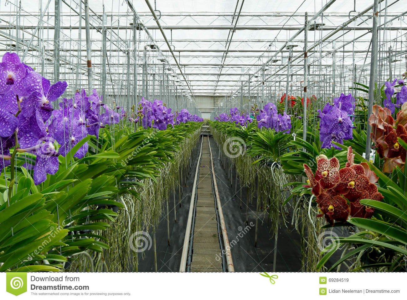De Vanda Orchids In Greenhouse Stock Photo.