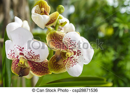 Stock Photos of Asian Vanda Orchid.