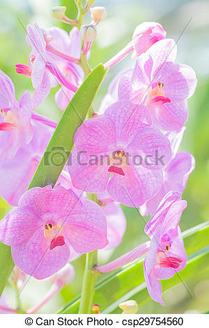 Stock Image of Vanda orchid hanging in plant nursery..