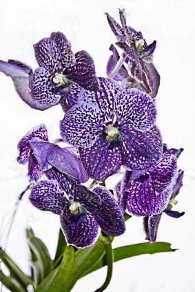 Vanda Orchids For Sale, Orchid Care Instructions, Orchids For Sale.