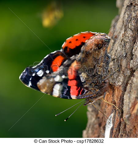 Stock Photos of the red admiral (vanessa atalanta).