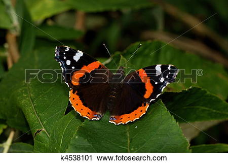 Stock Photography of A Red Admiral butterfly, Vanessa atalanta.
