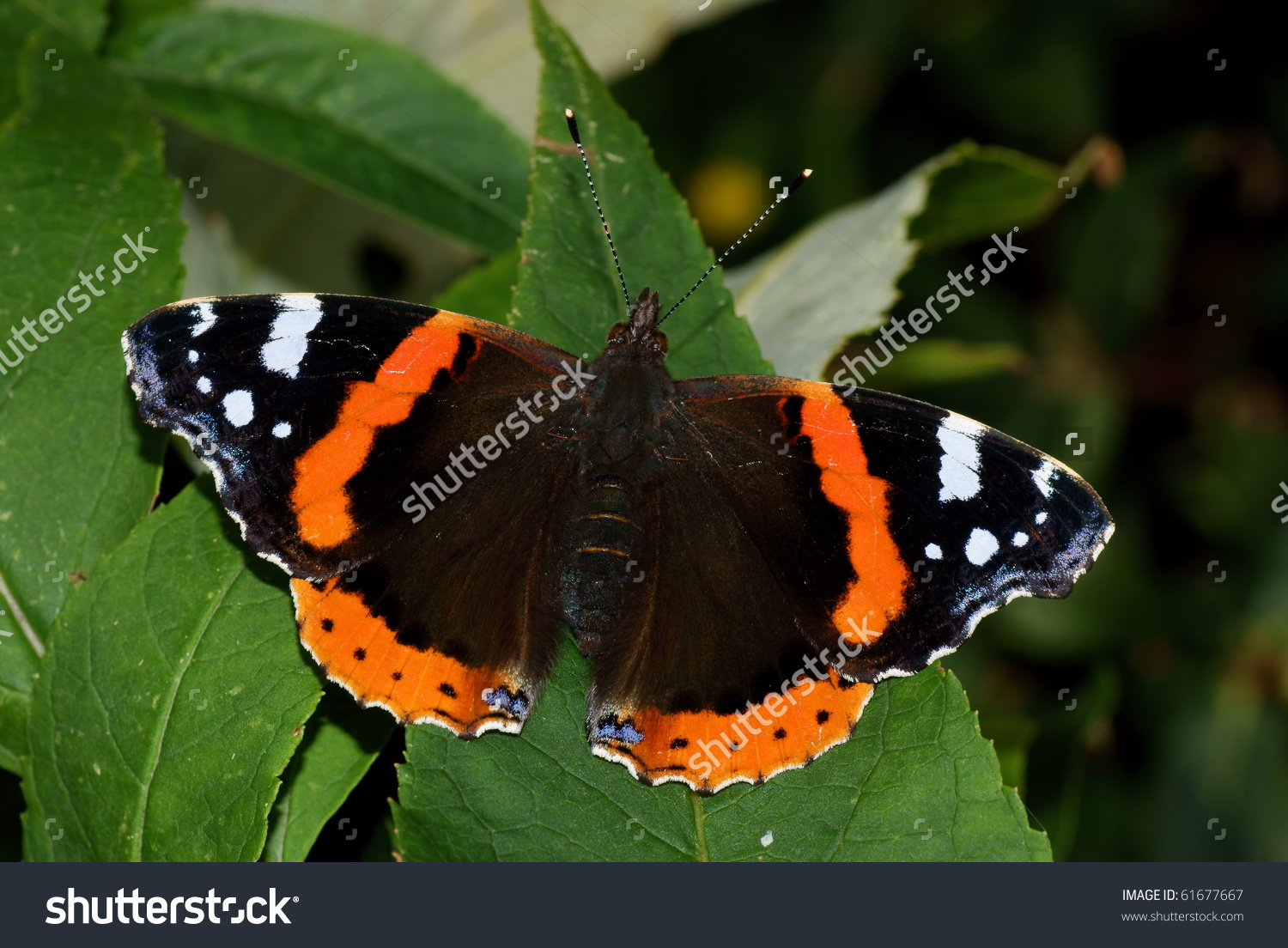 Red Admiral Butterfly Vanessa Atalanta Resting Stock Photo.