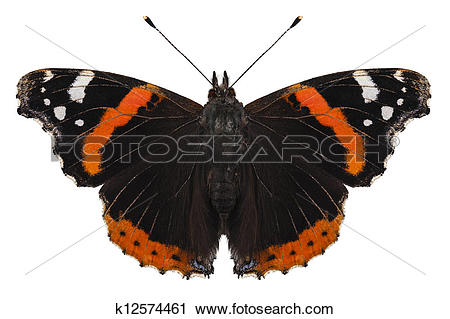 Stock Photography of Butterfly species Vanessa atalanta k12574461.