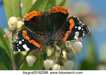 "Pictures of ""Red Admiral butterfly (Vanessa atalanta), female."