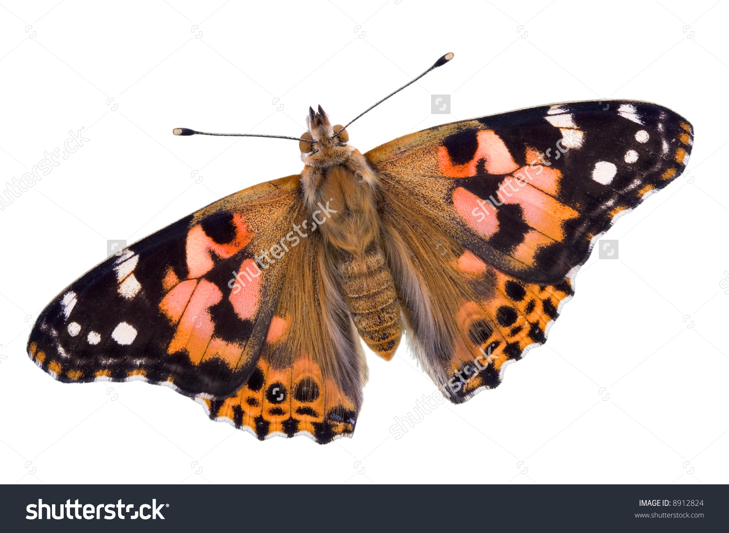 A Painted Lady Butterfly Has Its Wings Open On A White Background.