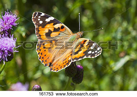 Stock Photo of Painted Lady / Vanessa cardui 161753.
