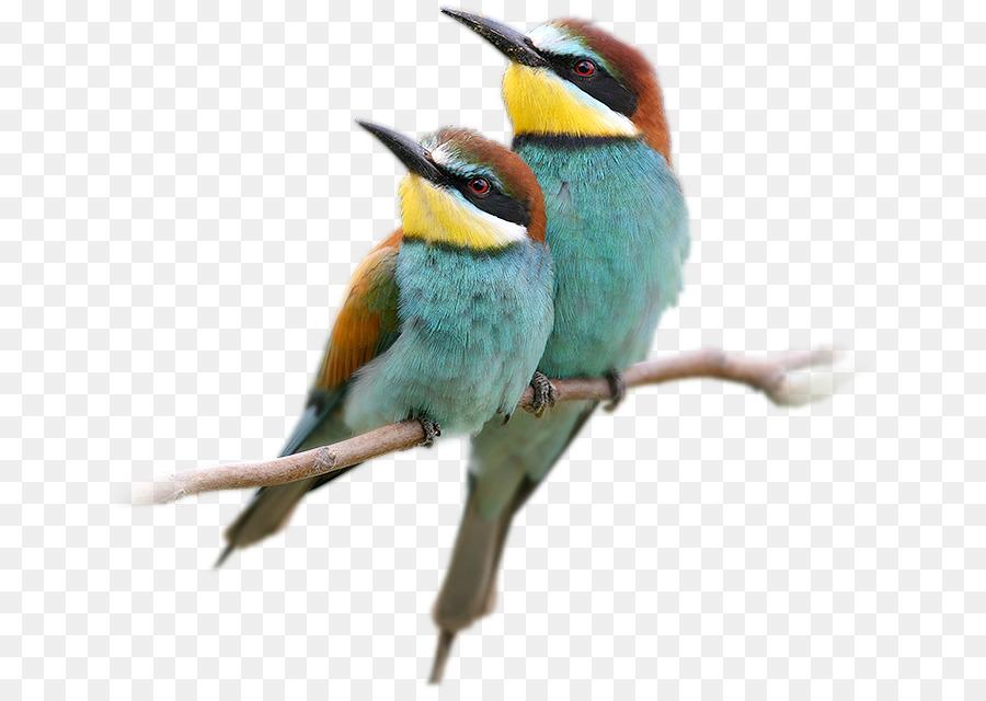 Robin Bird 700*630 transprent Png Free Download.