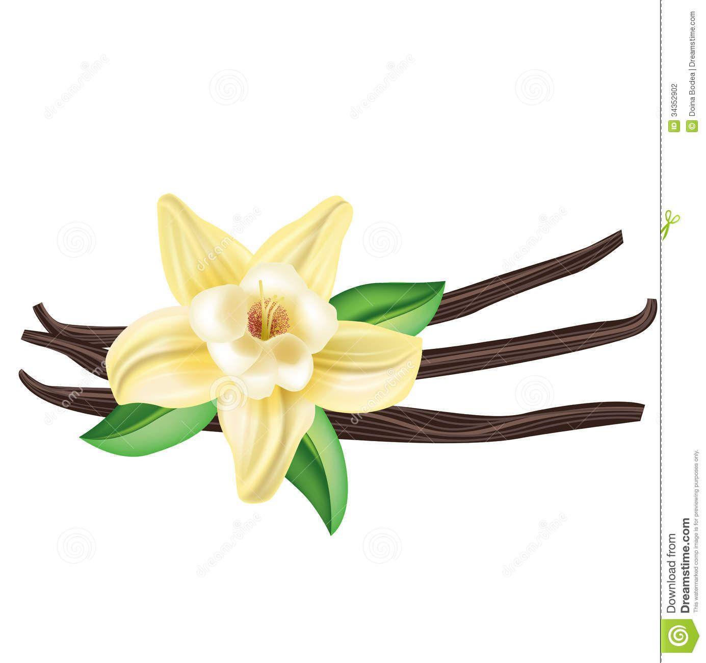 Vanilla Clipart Vanilla Flower Drawing Vanilla Bean Flower.