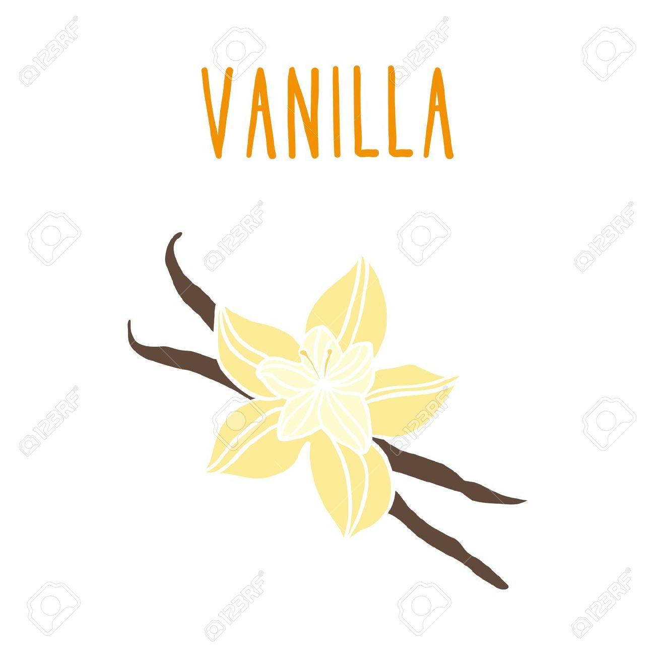 Vanilla Beans. Vector Hand Drawn Illustration. Royalty Free.