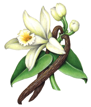 Vanilla flower with leaves, buds and two vanilla beans in.