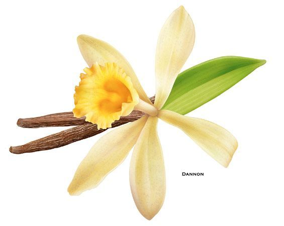 The vanilla bean orchid is a very special flower, it only.