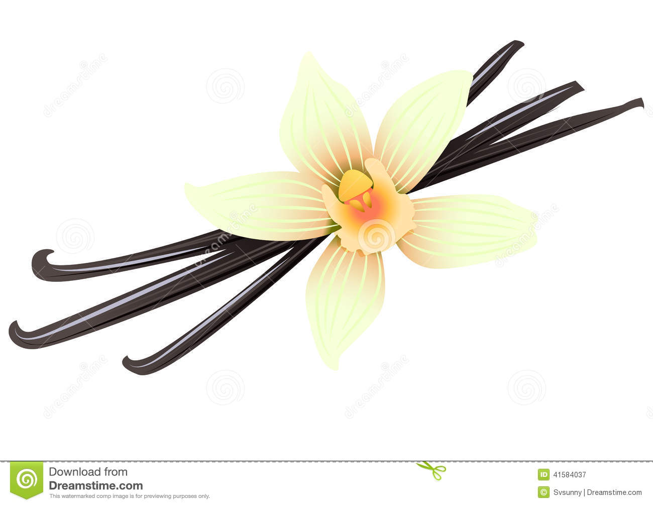 Vanilla Flower Stock Illustrations.
