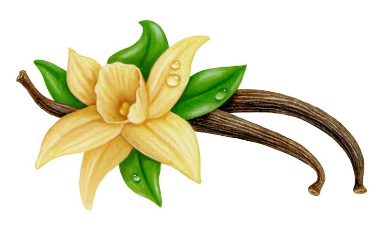 Vanilla flower clipart.