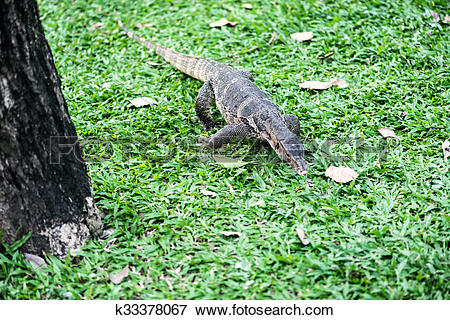 Picture of Varanus salvator k33378067.