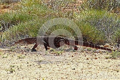 Australian Goanna/Lace Monitor (Varanus Varius) Stock Photo.