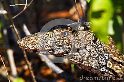 Australian Goanna/Lace Monitor (Varanus Varius) Stock Photography.